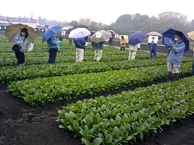 第57回千葉県野菜品種品評会「こまつなの部」