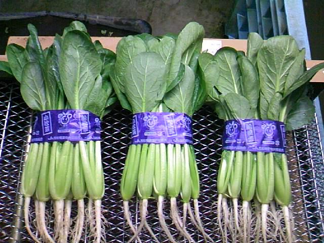 小松菜品種比較2011冬編