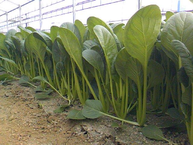 初夏の小松菜品種比較