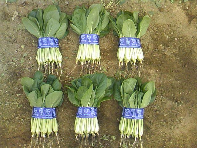 2011 ひらの農園秋の小松菜品種比較